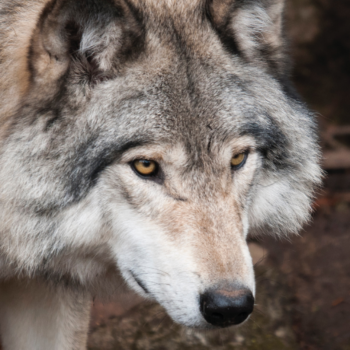 Titelbild zum Blog mit einem neugierigen Wolf.