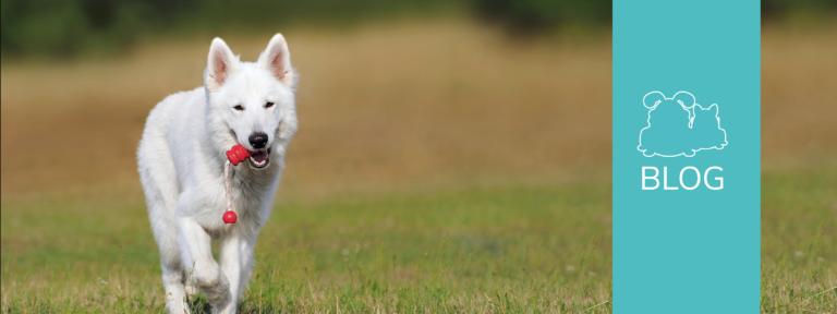 Titelbild zum Blog mit einem apportierenden weißen Schäferhund.